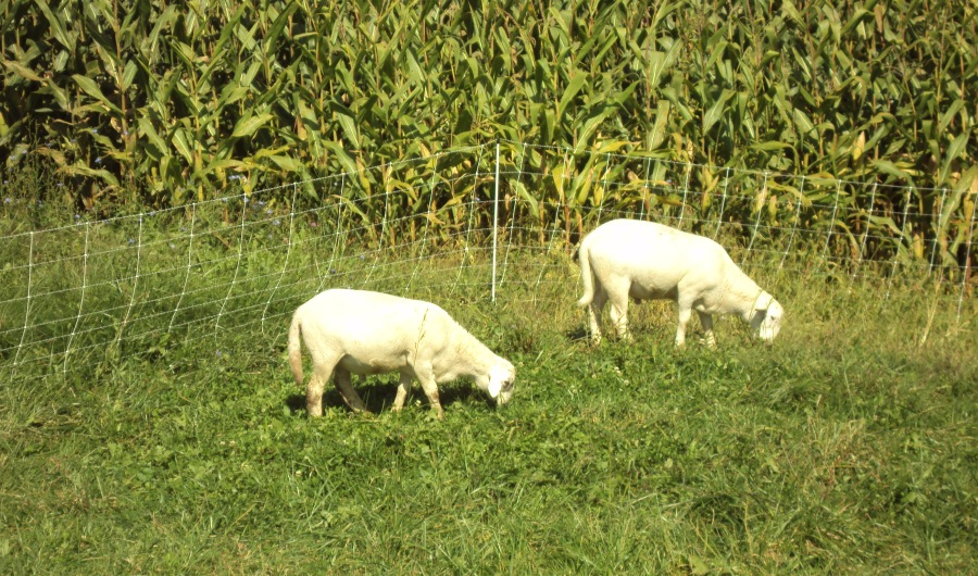two sheep grazing in front of a white fence with verticals and horizontals forming squares