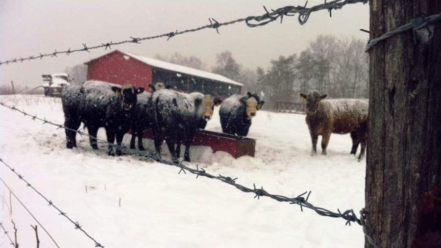 snowy scene with fence in foreground and cows and barn in background